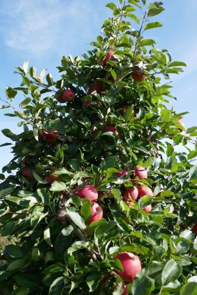 an apple each day…